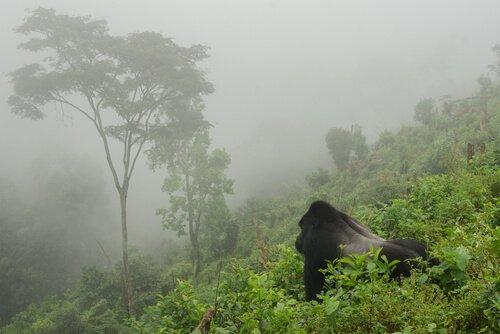I gorilla di montagna crescono: raggiunti 1.000 esemplari