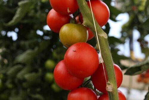 Grappolo di pomodori rossi da cogliere