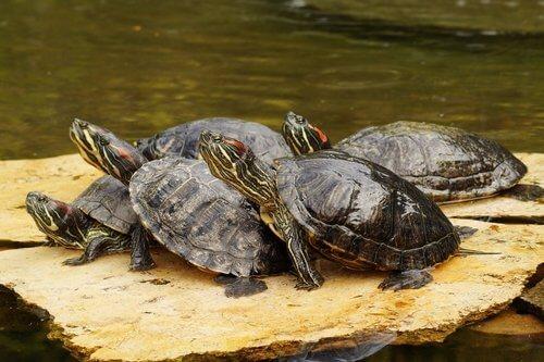 un gruppo di tartarughe d'acqua su una roccia