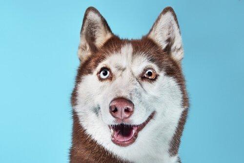 un husky con gli occhi diversi visto da davanti