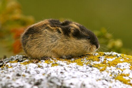 Lemming adulto annusa il muschio