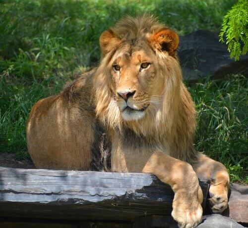 Leone africano riposa all'ombra