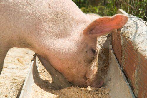 La migliore alimentazione per maiali