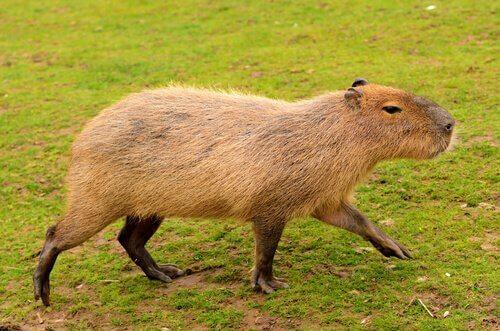 5 animali endemici del Sud America