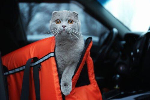 un micio esce da uno zaino in un'auto