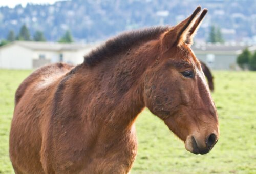 Curiosità sul mulo: metà asino e metà cavallo