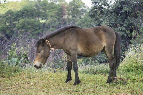un mulo legato mentre bruca erba