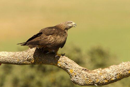 Nibbio bruno su un ramo con il becco aperto
