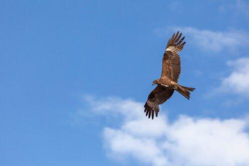Nibbio bruno vola con le ali aperte