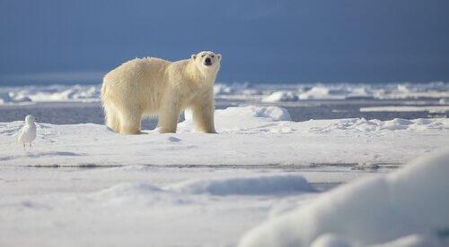 Orso polare sulla neve