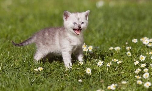 Tutto sul miagolio dei gatti