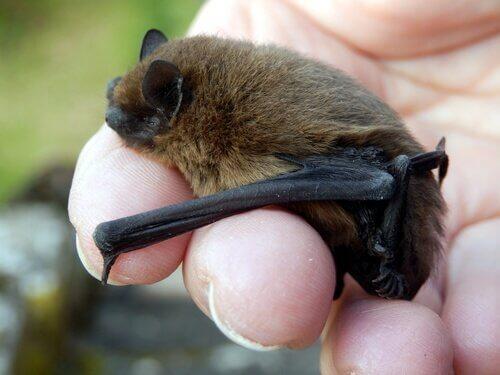 Pipistrello tenuto in mano