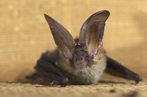 Pipistrello orecchione fermo sul suolo