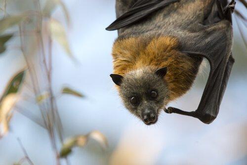 Pipistrello volpe alata testa dorata