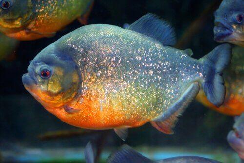 Piranha rosso di profilo mentre nuota