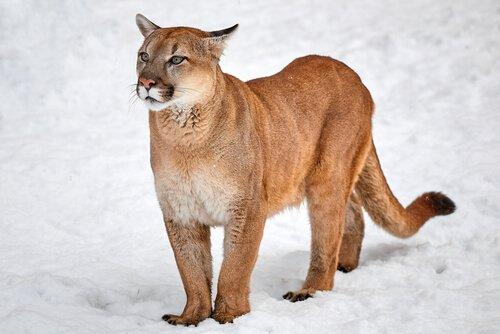 Puma sulla neve
