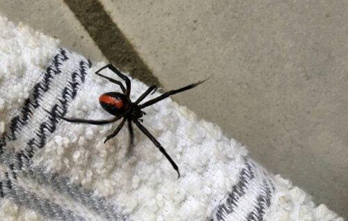 Non bisogna uccidere i ragni dentro casa: ecco perché