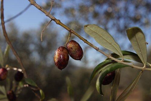 Olive pendono da un ramo