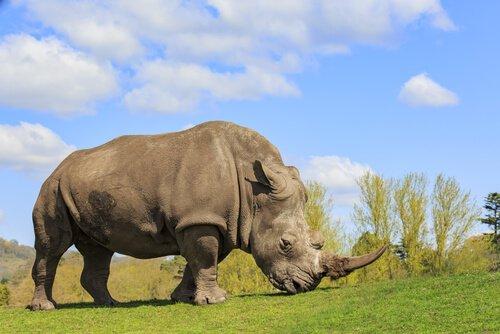 5 specie di rinoceronti più interessanti