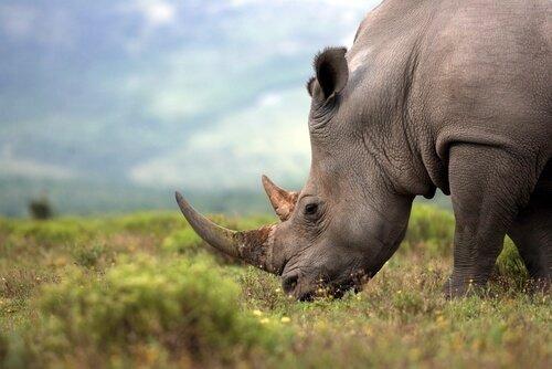 Rinoceronte bruca l'erba