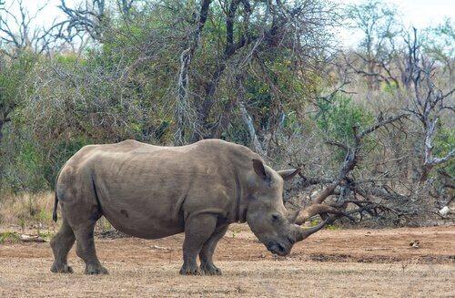 un rinoceronte di profilo nella savana