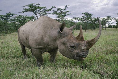 Rinoceronte nero con i suoi due corni
