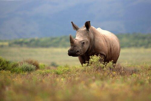 Un rinoceronte pascola in un prato della Namibia