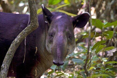 un tapiro di baird si nasconde tra i rami
