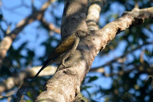 Indicatore indiano tra uccelli indicatori più diffusi