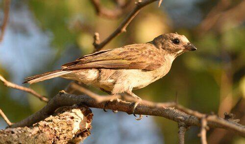 Uccello indicatore minore su un ramo