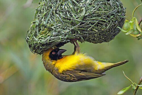 Un uccello tessitore giallo appeso su un nido
