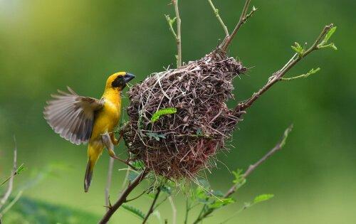 Uccelli tessitori, gli architetti dei nidi più belli