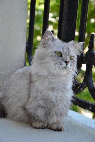 un gatto napoleone bianco all'aperto