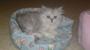 un un gatto napoleone grigio nella sua cuccia