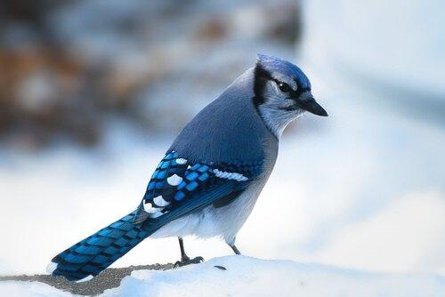Ghiandaia azzurra americana con le zampette nella neve