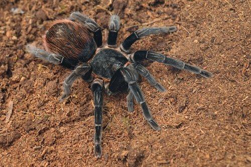Tarantula rosso messicano della groppa sulla sabbia