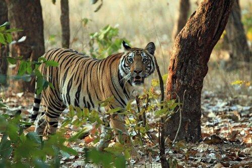 una Tigre del Bengala nella foresta in cerca di prede