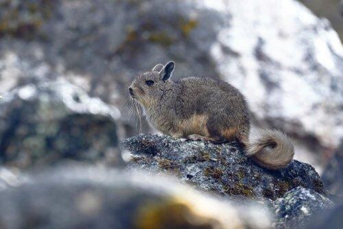La meravigliosa ed unica fauna delle Ande