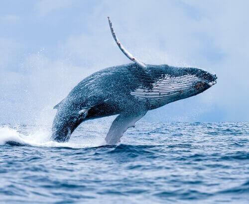 Balena: habitat, comportamento e caratteristiche