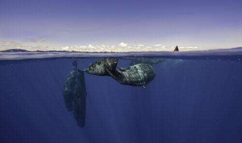 Balena si sommerge mentre un'altra prende aria