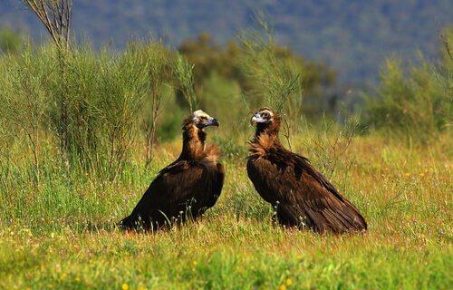 Avvoltoi monaci in campagna