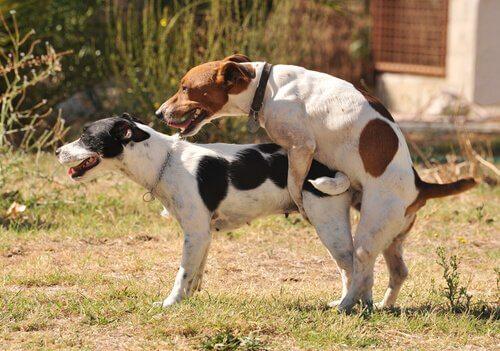 Coppia di cagnolini mentre copulano