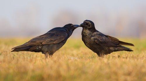 una coppia di corvi in campagna