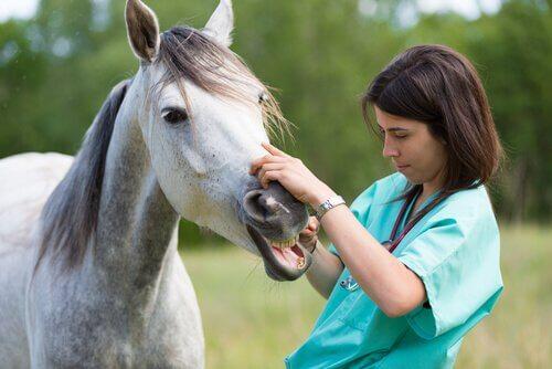 Veterinario esamina i denti di un cavallo bianco