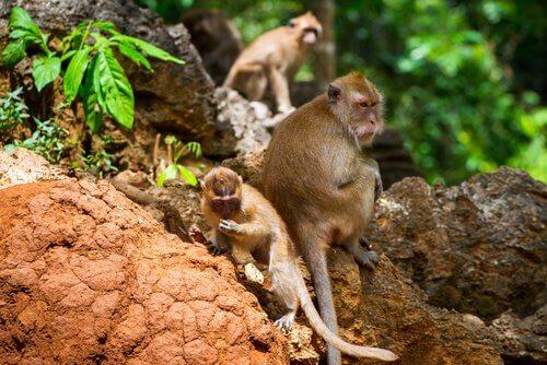 Macachi dei parchi nazionali dell'Asia