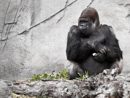 La morte di Koko, la femmina di gorilla che parlava agli uomini