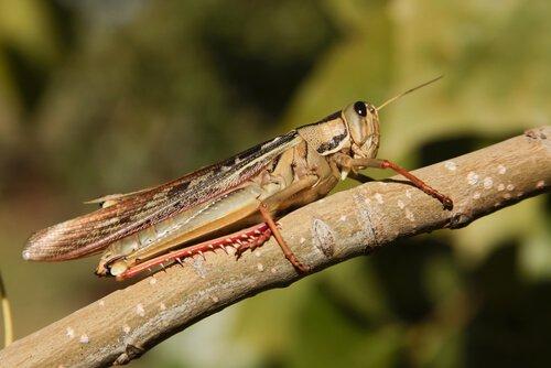 Locusta, la cavalletta gigante