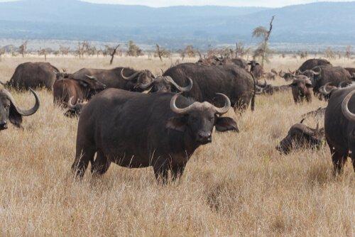 Mandria di bufali africani pascola in Kenya
