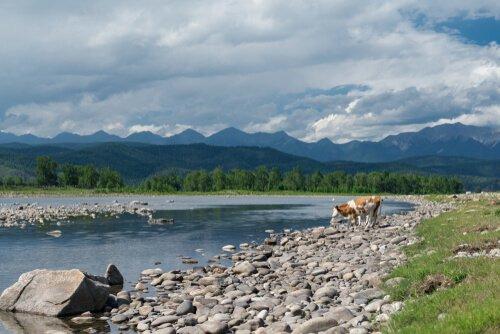 Mucca beve da un fiume