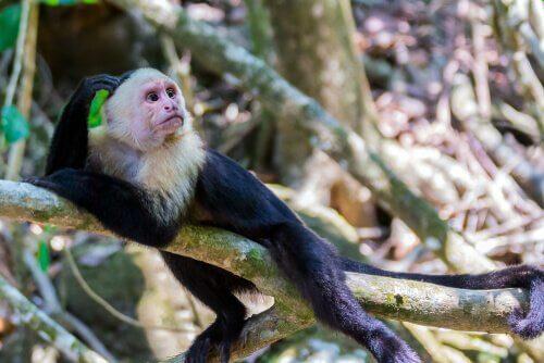 una scimmia cappucina su un ramo